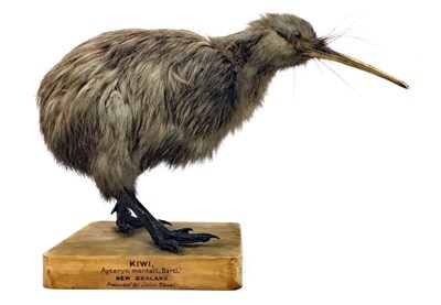 Lot 823-AN EARLY 20TH CENTURY TAXIDERMY KIWI