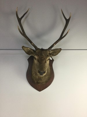 Lot 1739 - AN EARLY 20TH CENTURY STAG'S HEAD